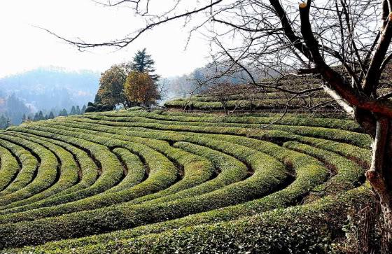 Gwangju: Boseong Tea Plantation
